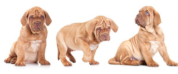 Best dog food for Mastiff puppies