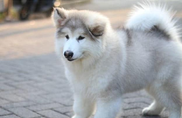 Malamute running outside