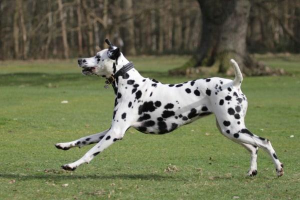 Dalmatian getting exercise