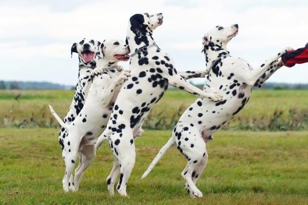 Dalmatians doing tricks