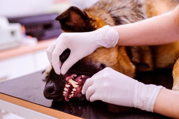 gum disease showing up in older dog making it harder to eat