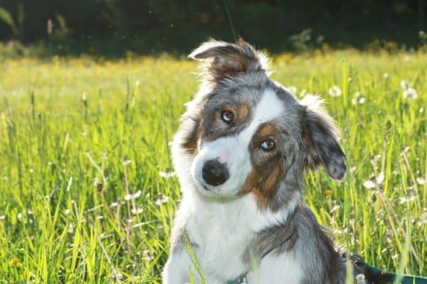 aussie shepherd heeler dog