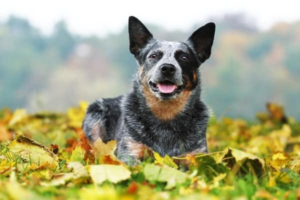 blue heeler mix dog