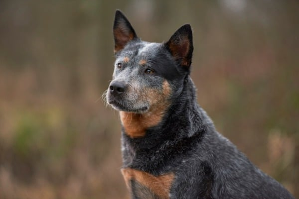 australian cattle dog sitting