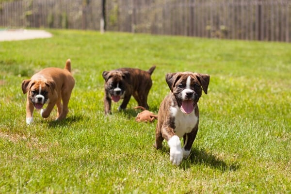boxer GSD puppies at the park
