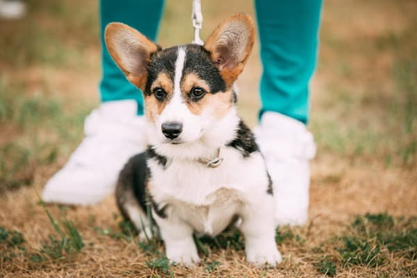 cowboy corgi the perfect partner