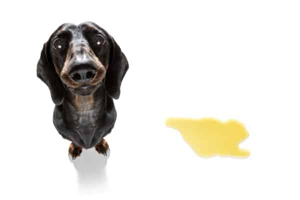 dark urine in dogs