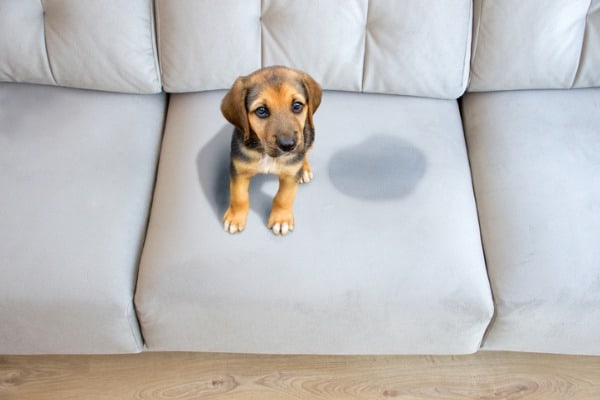 dog pee on sofa