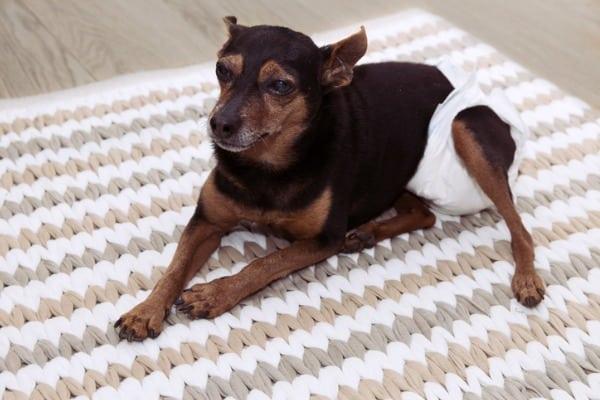 dog wearing diaper