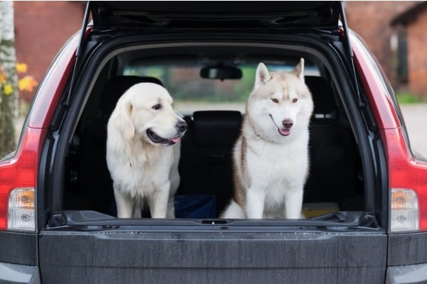 dogs in the boot of car