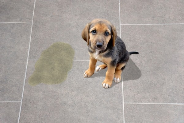 health hazards of dog urine