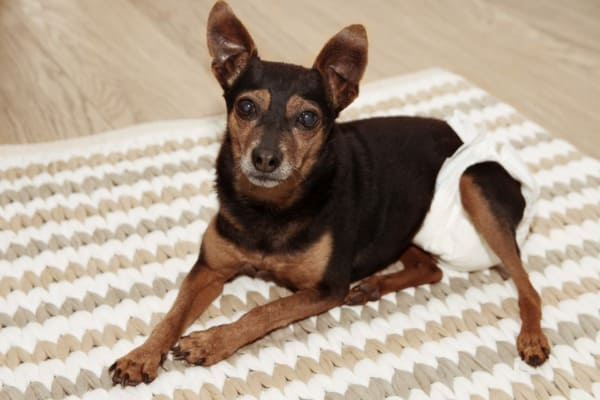 older dog wear diaper