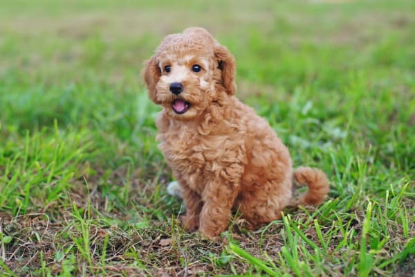 toy poodle puppy sitting