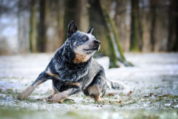 training a blue heeler mix