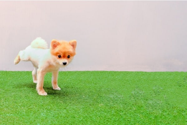 dog peeing on artificial grass