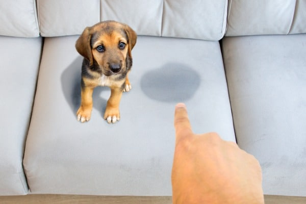 how to remove dog urine from couch