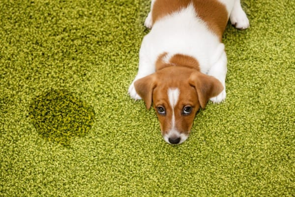 get pet urine smell out of subfloor