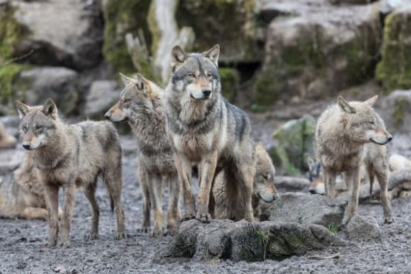 Group of wolves standing up tall