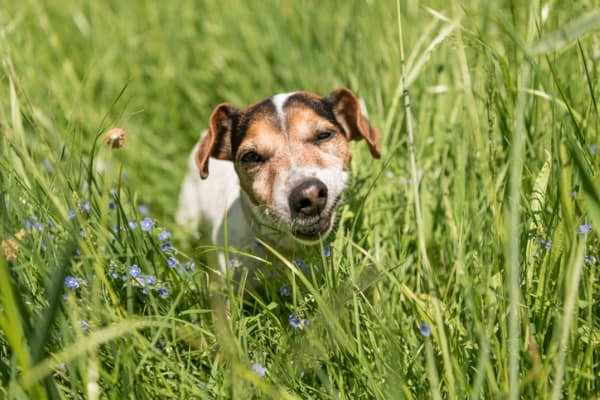 dog eating grass out of pure boredom