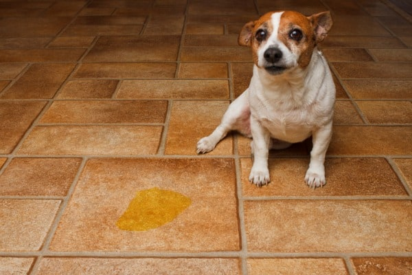 dog pee spot on floor