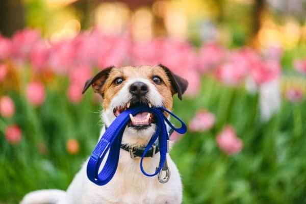 dog ready for walk with leash in mouth