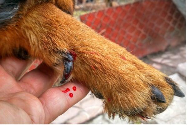 dog bleeding between toes