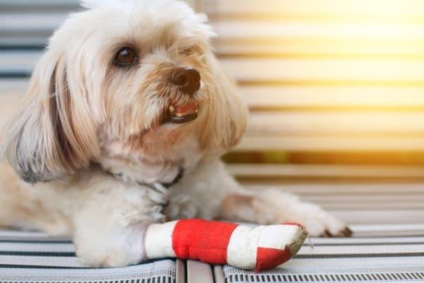 dog has cut between its toes