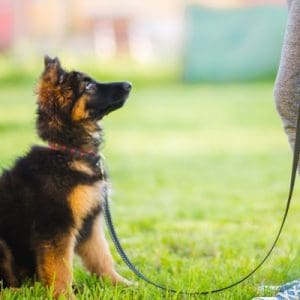puppy looks up waiting at owner