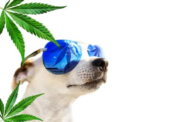 relaxing dog with sunglass and weed