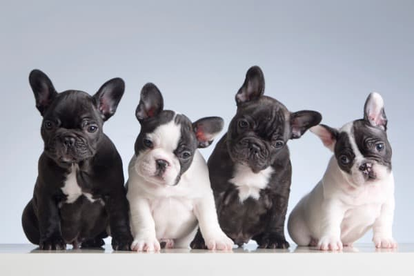 french-bulldog-puppy-colors