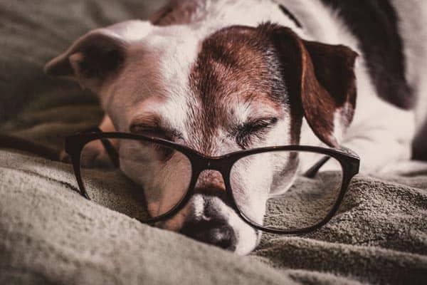 senior-dog-resting