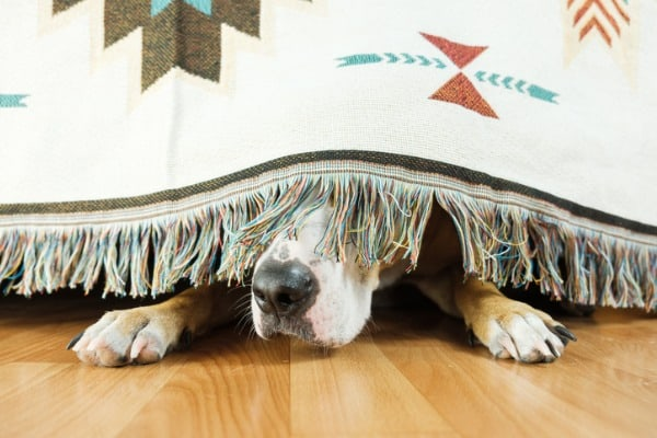 Dog scare of fireworks and hiding under bed