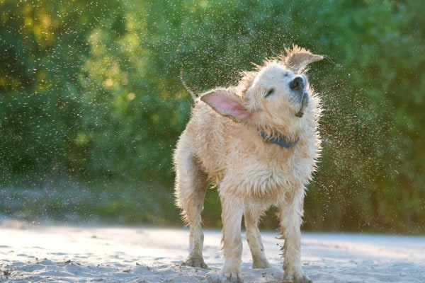golden labrador shaking