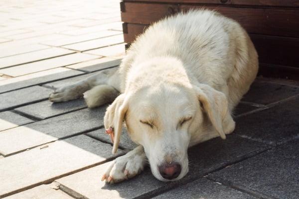 aging-dog-sleeping-outside