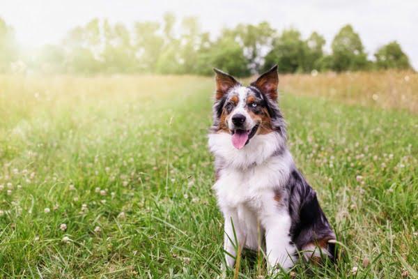 dog who smells like maple syrup