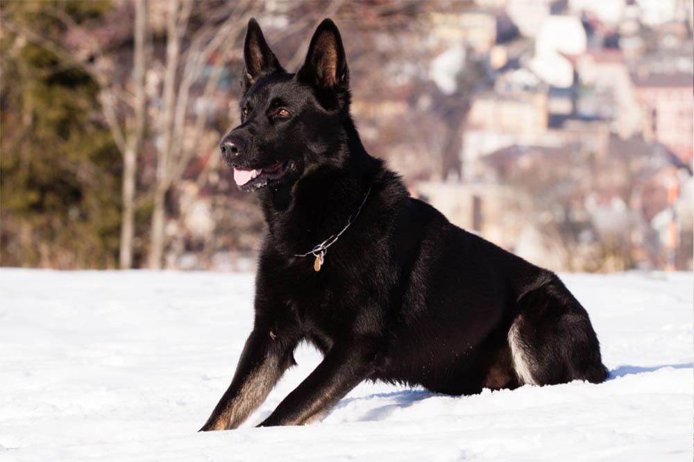 Are Black German Shepherds Rare