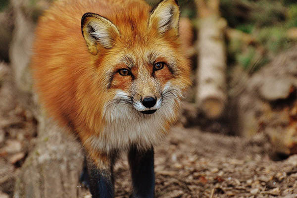 Are Foxes Interested In Eating Or Attacking Your Dog