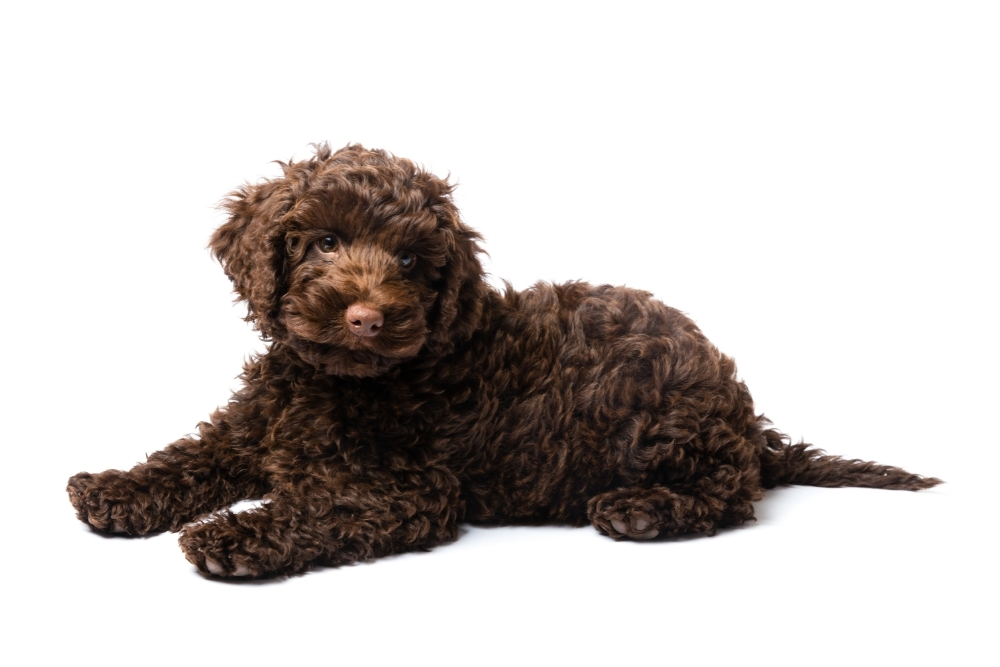 Are Mini Labradoodles Worth The Hype?