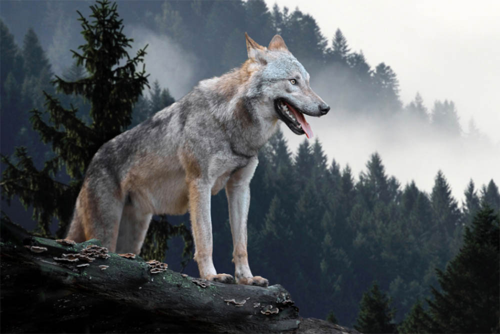 Are Wolves Dangerous To Dog