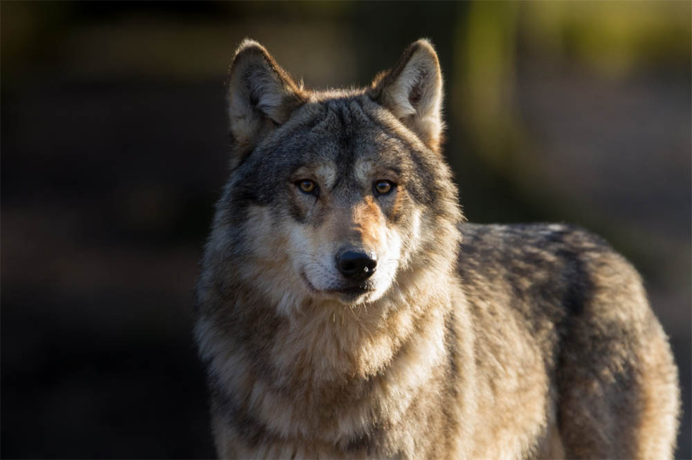 Are Wolves Dangerous To Dogs