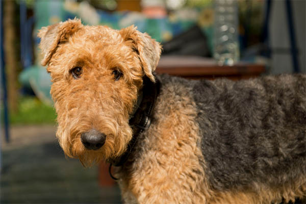 Black Gums Airedale Terrier