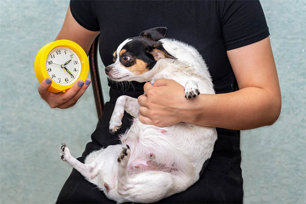 How To Tell If Your Chihuahua Is Pregnant