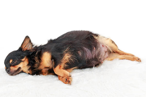 Chihuahua Pregnancy How many days and months are they pregnant for