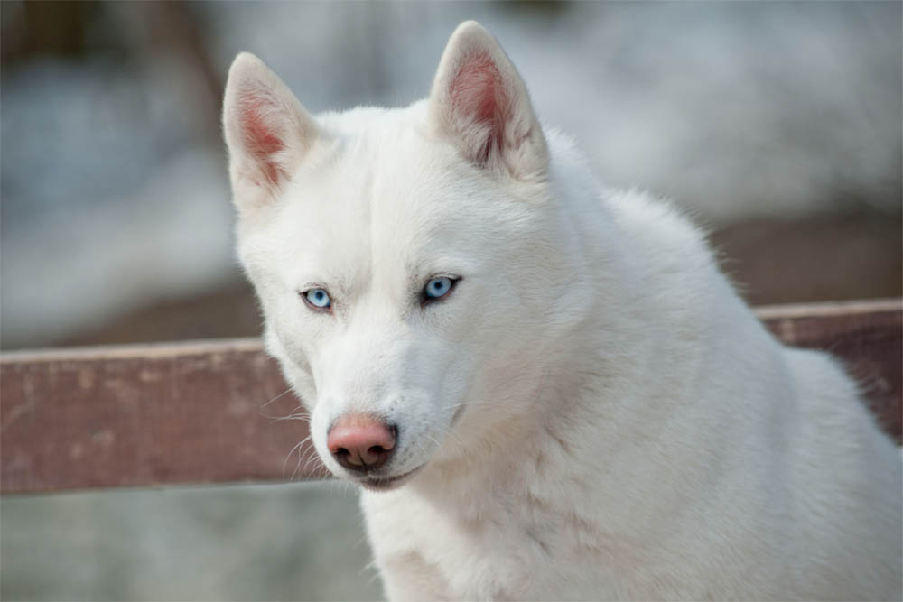 Do All White Huskies Have Blue Eyes
