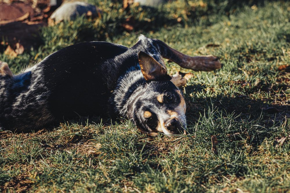 Do Cattle Dogs Get Cold
