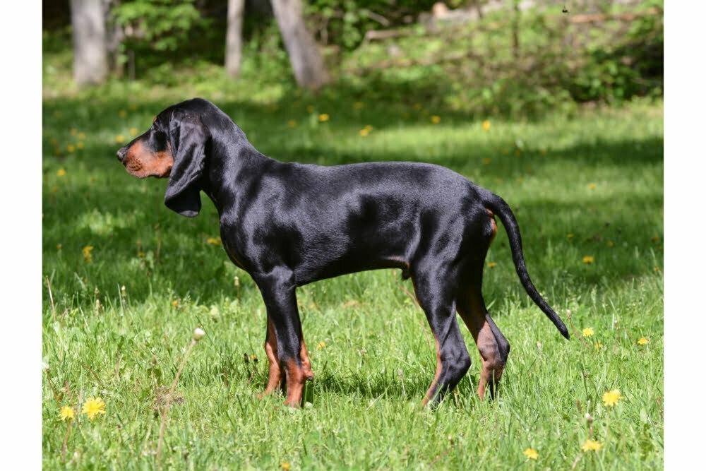 Do Coonhounds Make Good Pets?