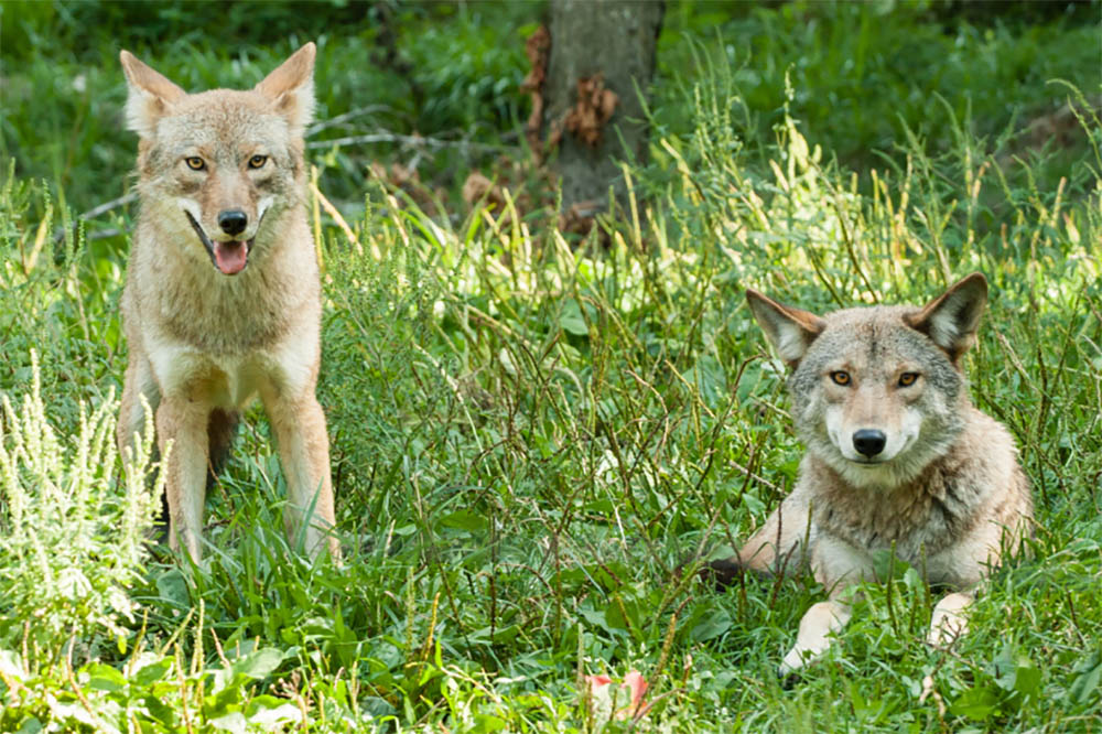 Do Coyotes Mate With Dogs