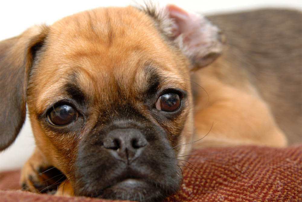 Do Puggles have health problems