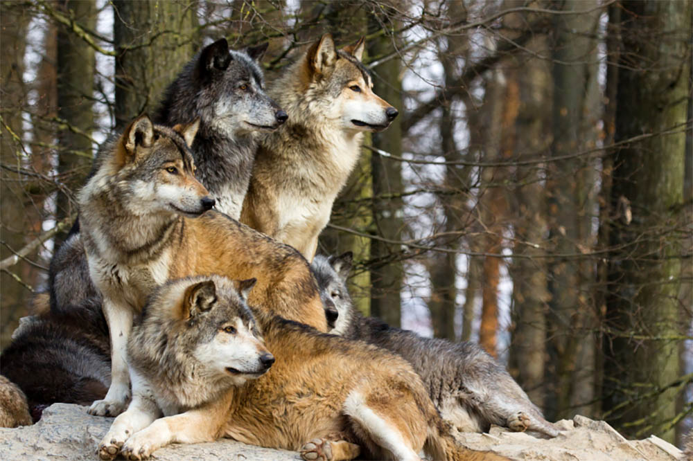 Dog Breed Can Kill a Wolf