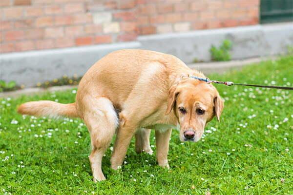 Dog Hold its Poop